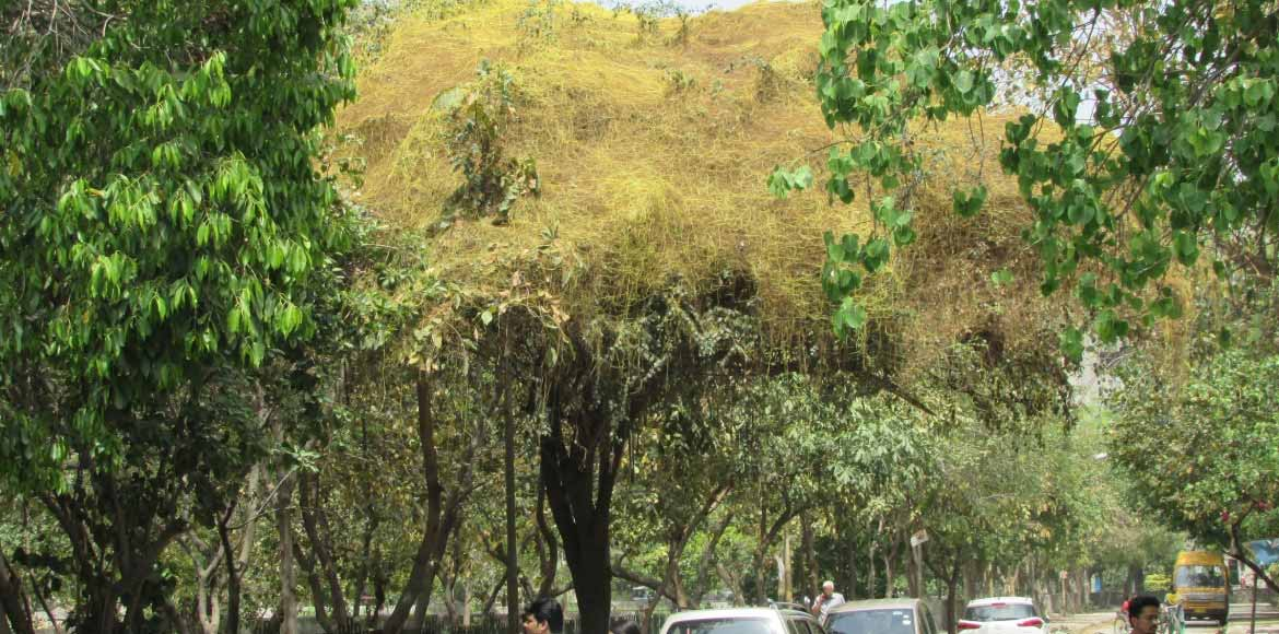 Yellow death for Dwarka's green