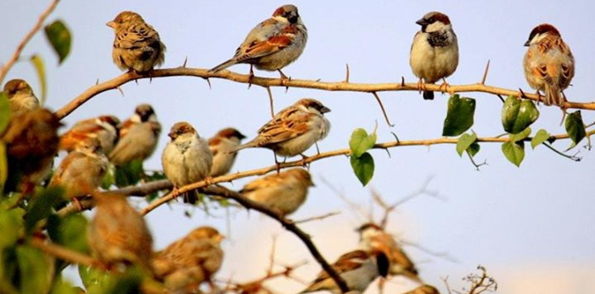 Population of house sparrows on the rise in NCR?