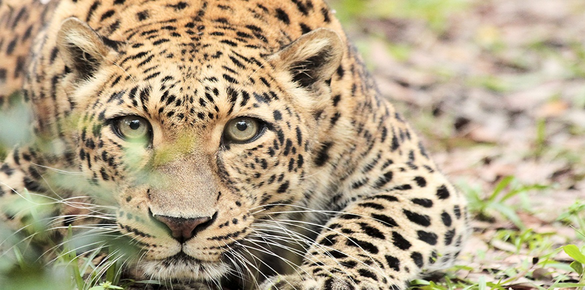 WATCH: Rescued leopard released in the Aravalli forest