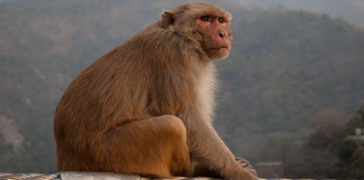 GDA comes up with 'Monkey Parks' to check monkey menace