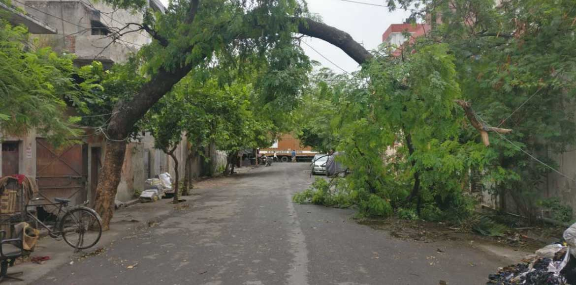 Tree bends in semi-circle as pruning drive is delayed