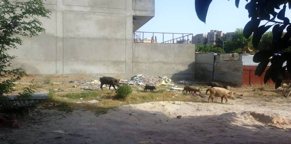 Gurgaon, Suncity: Here a pig, there a pig...