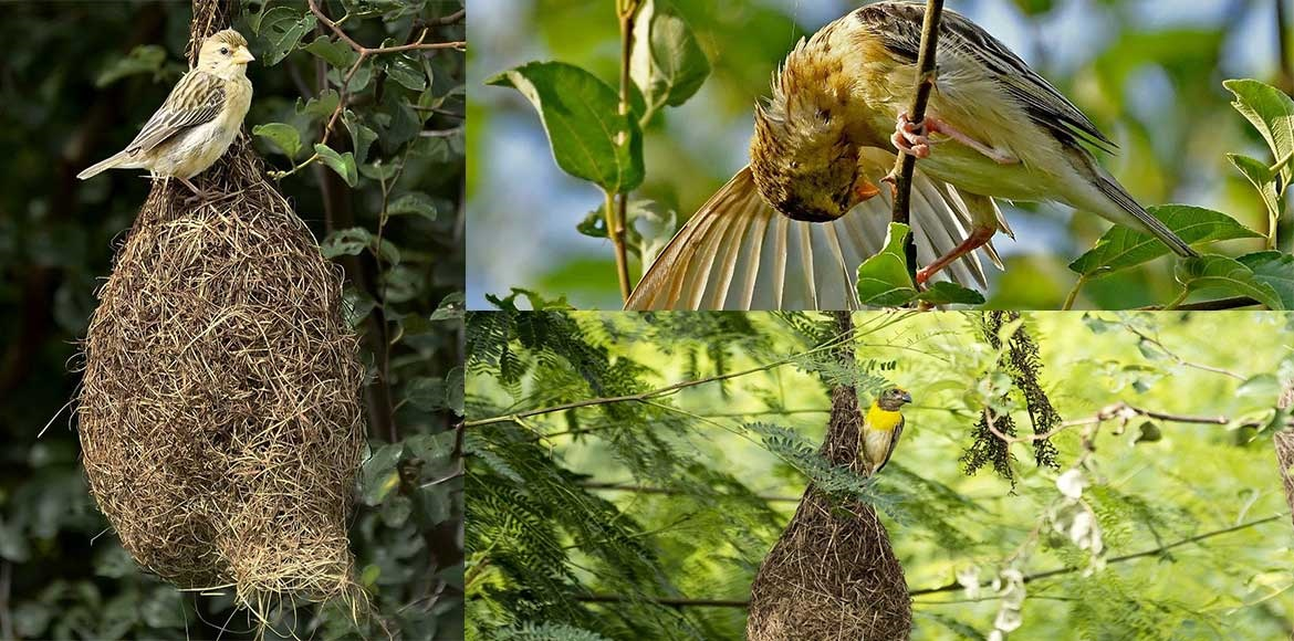 Is Dwarka turning into a nesting hub for the baya weaver?