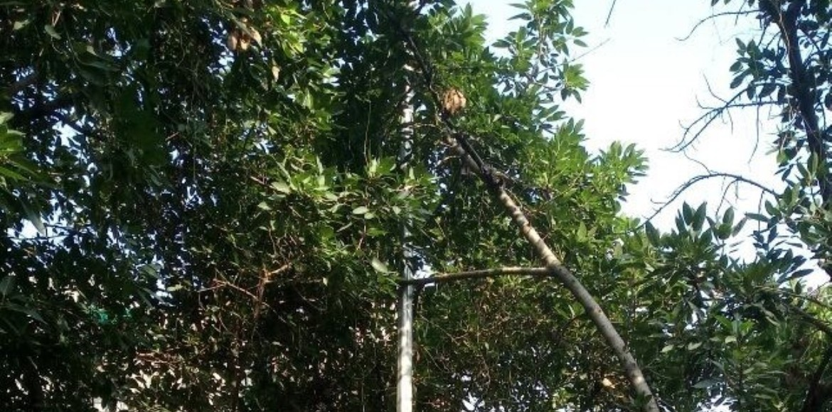 Dwarka: Why trees along the service lane in Sector 6 must be pruned...