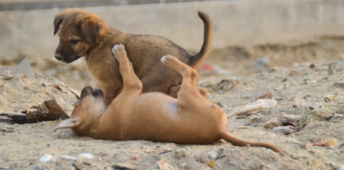 With SPCA out, who's sterilising the stray dogs of Noida?