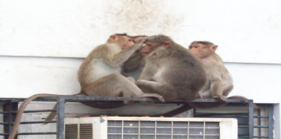 An expert from Mathura is taking charge of the monkey menace in Gurgaon