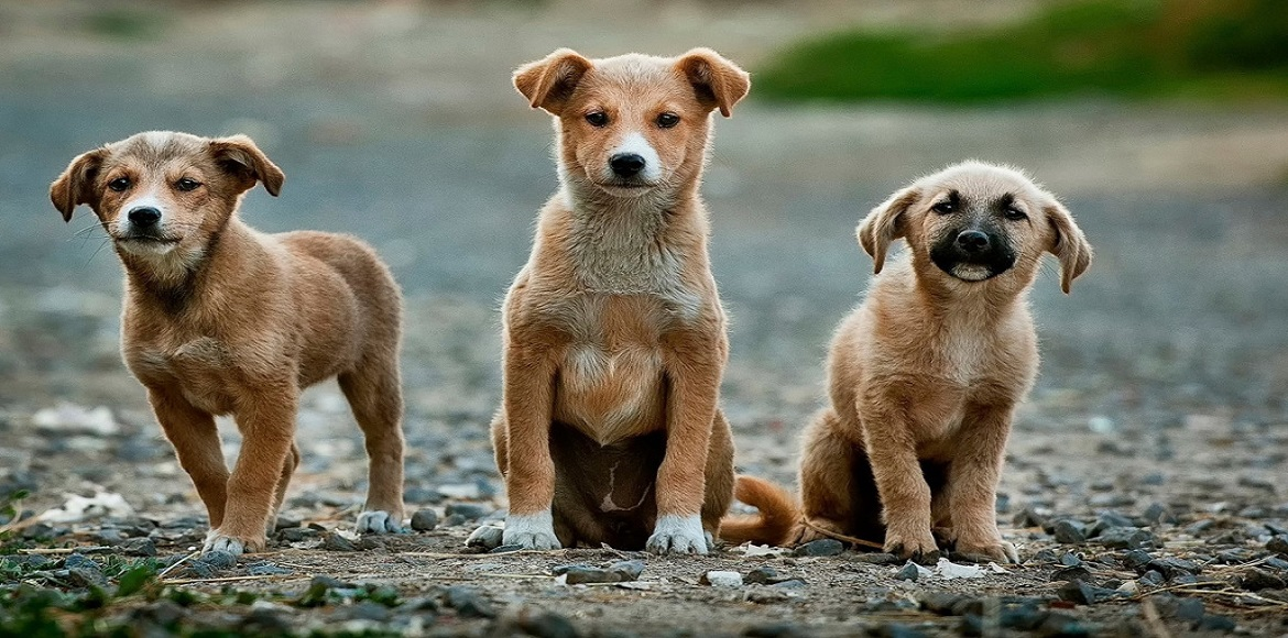 Without a proper sterilisation programme, Dwarka sees rise in stray dog numbers