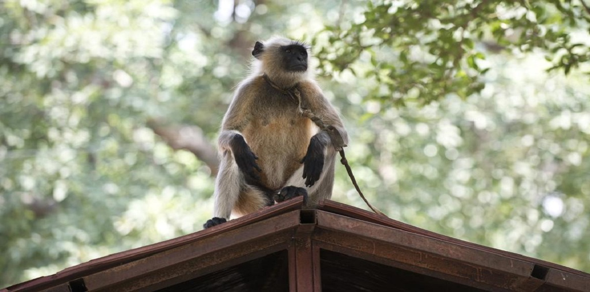 Monkeys have Indirapuram residents at their mercy;