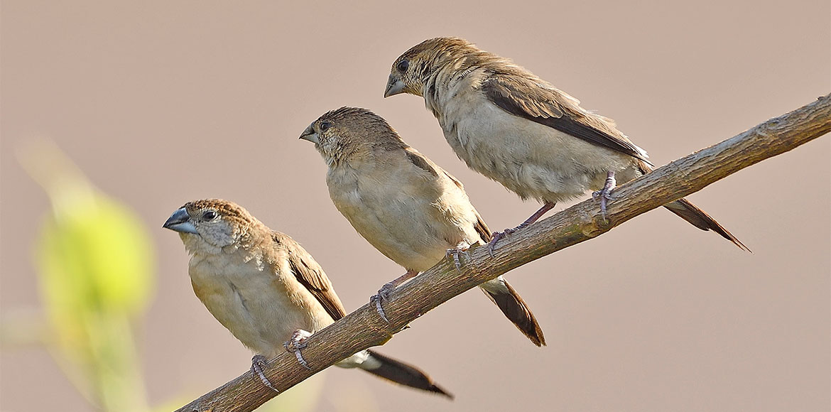 World Sparrow Day: The house sparrow makes a comeb
