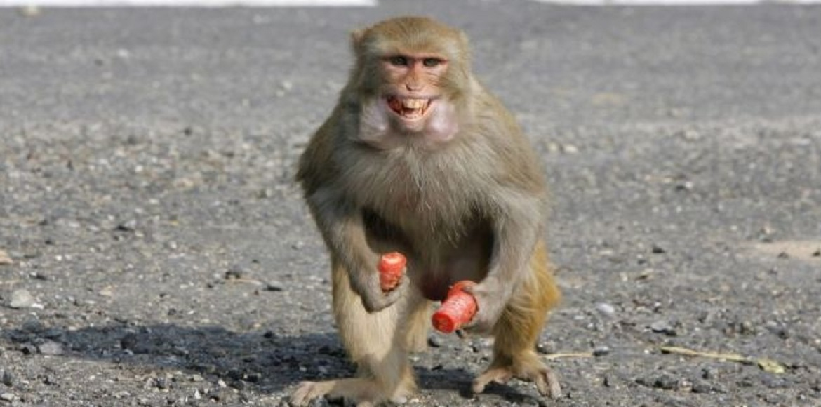 Will MCG be successful in curbing the monkey menace, this time?