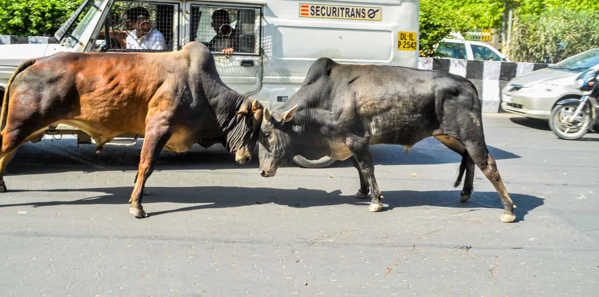 Noida Authority starts picking cattle from roads a