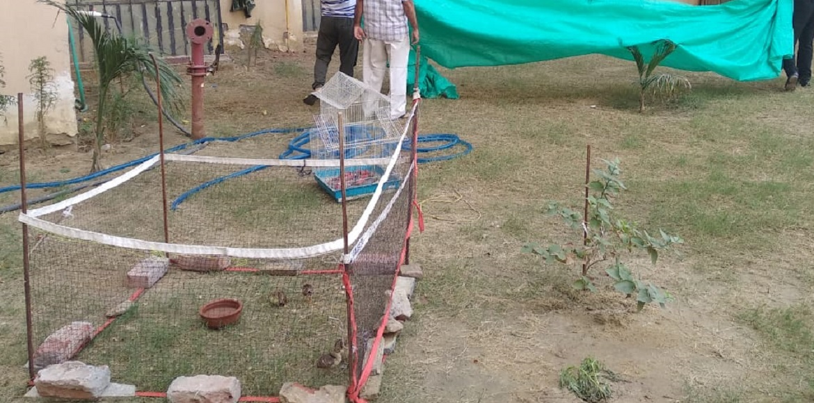 Four newly-born peacocks rescued at Amrapali Zodiac; sent to Surajpur wetland