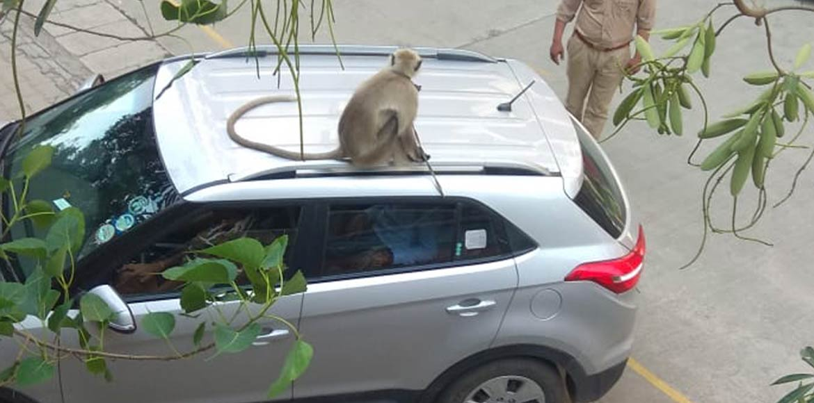 Tied with rope in Raj Nagar Extn society, forest officials rescue a langur