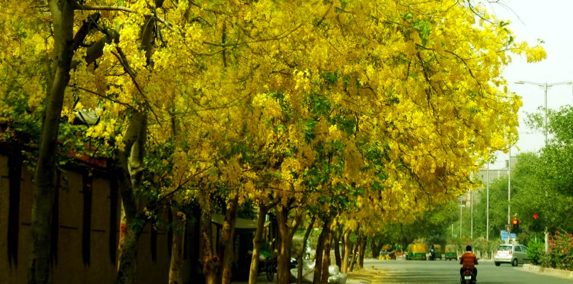 Blooming Amaltas turns Dwarka's street 'golden'; residents elated!