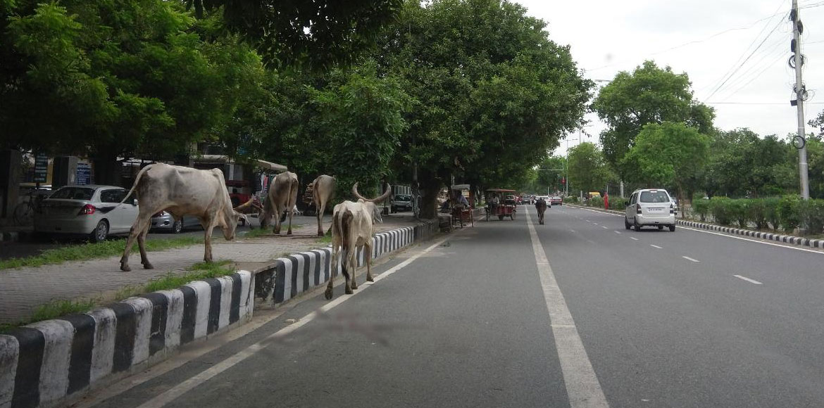 Dwarka: Stray animals posing threat to road users