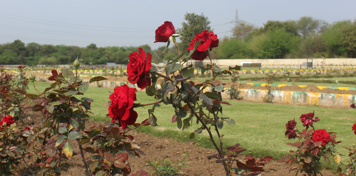 Rose garden in full bloom beckons you in Dwarka