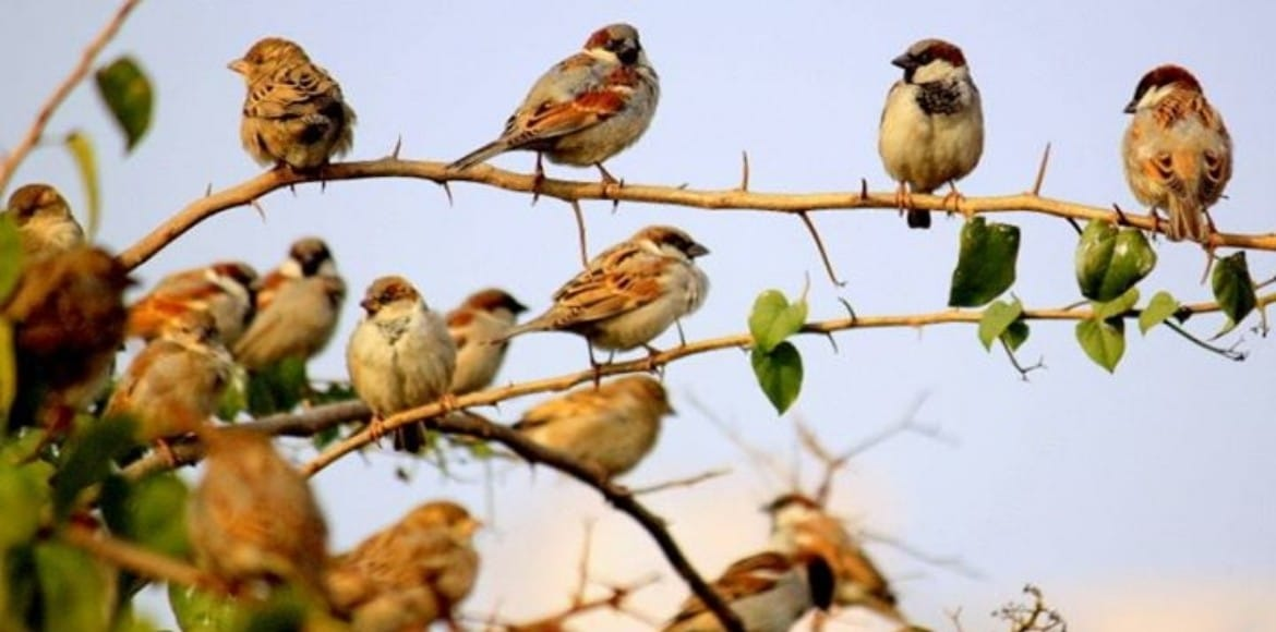 Bird enthusiasts aver comeback of House Sparrow in environs of Delhi