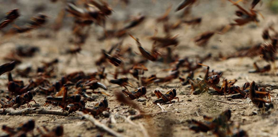 Delhi on high alert after locust swarms hit Gurugr
