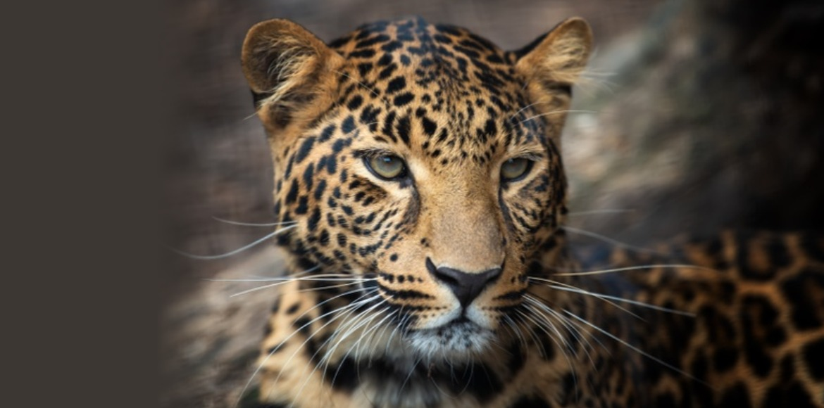 Leopard creates fear in Najafgarh area; forest department alerts residents