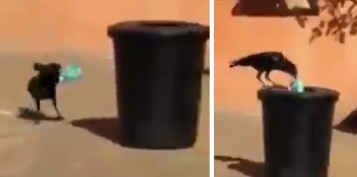 Crow collects garbage to put in dustbin, watch vir
