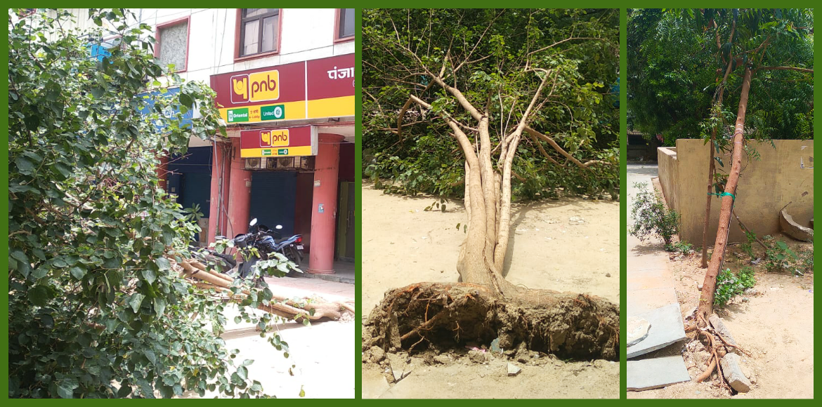 Dwarka: Two trees fall due to concretisation in Sec 6