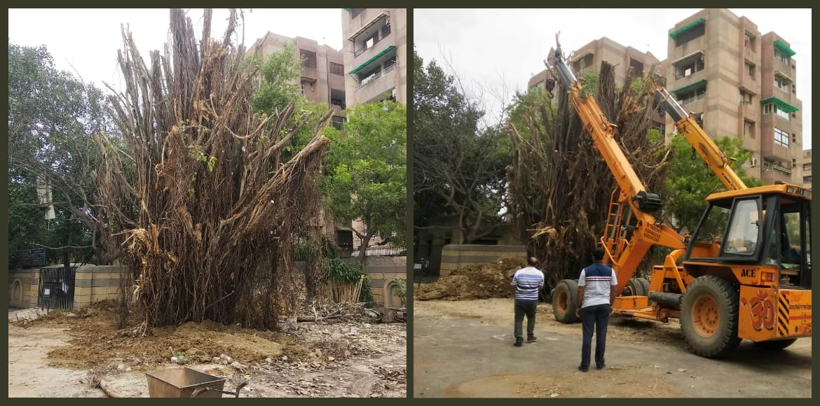 50-year-old tree set upright with help of two cran