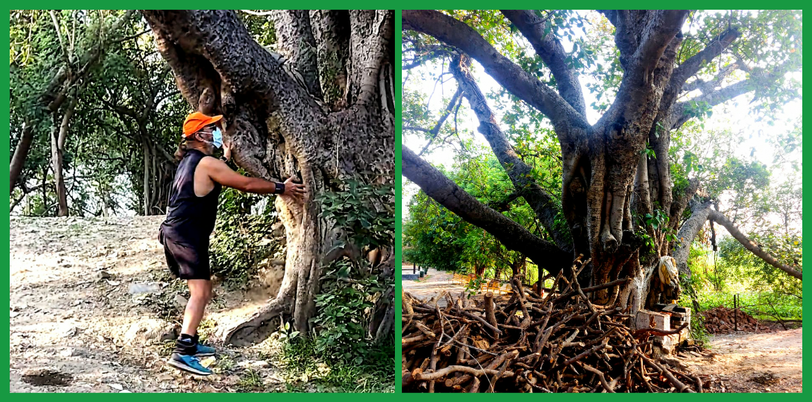 Heritage tree aged more than 240 years old identified in GB Nagar