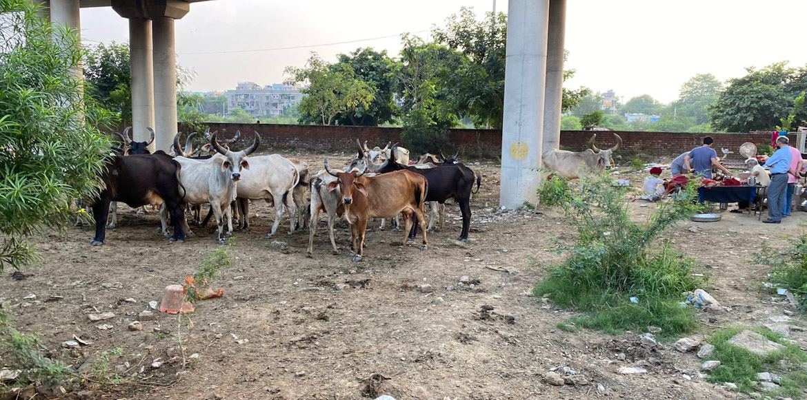 Dwarka: Residents hassled by flourishing cattle yards in vicinity